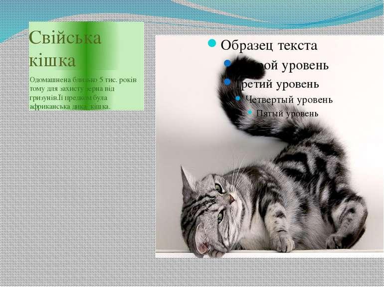 Свійська кішка Одомашнена близько 5 тис. років тому для захисту зерна від гри...
