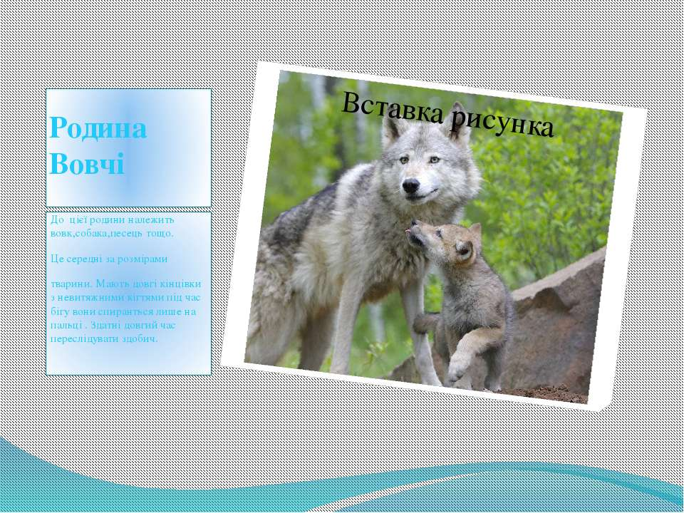 Родина Вовчі До цієї родини належить вовк,собака,песець тощо. Це середні за р...