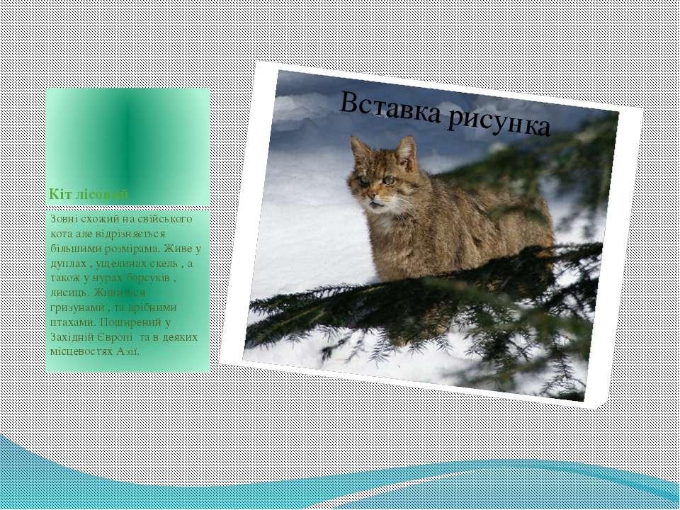 Кіт лісовий Зовні схожий на свійського кота але відрізняється більшими розмір...