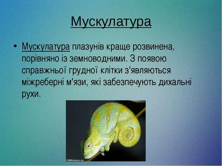 Мускулатура Мускулатура плазунів краще розвинена, порівняно із земноводними. ...