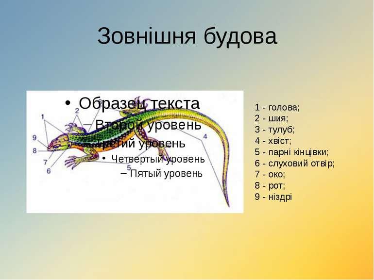 Зовнішня будова 1 - голова; 2 - шия; 3 - тулуб; 4 - хвіст; 5 - парні кінцівки...