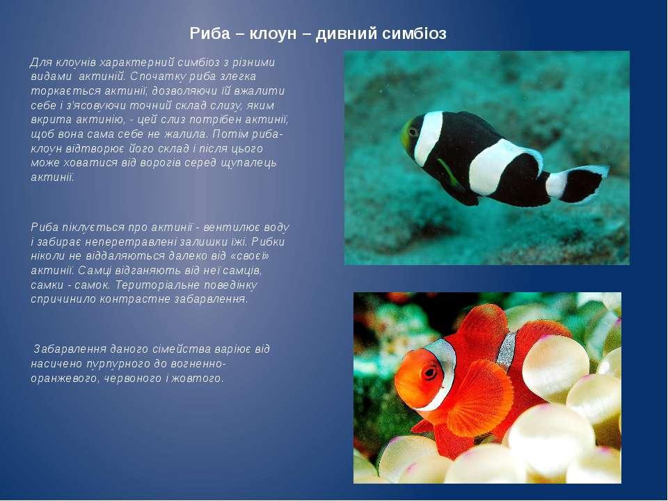 Риба – клоун – дивний симбіоз Для клоунів характерний симбіоз з різними видам...