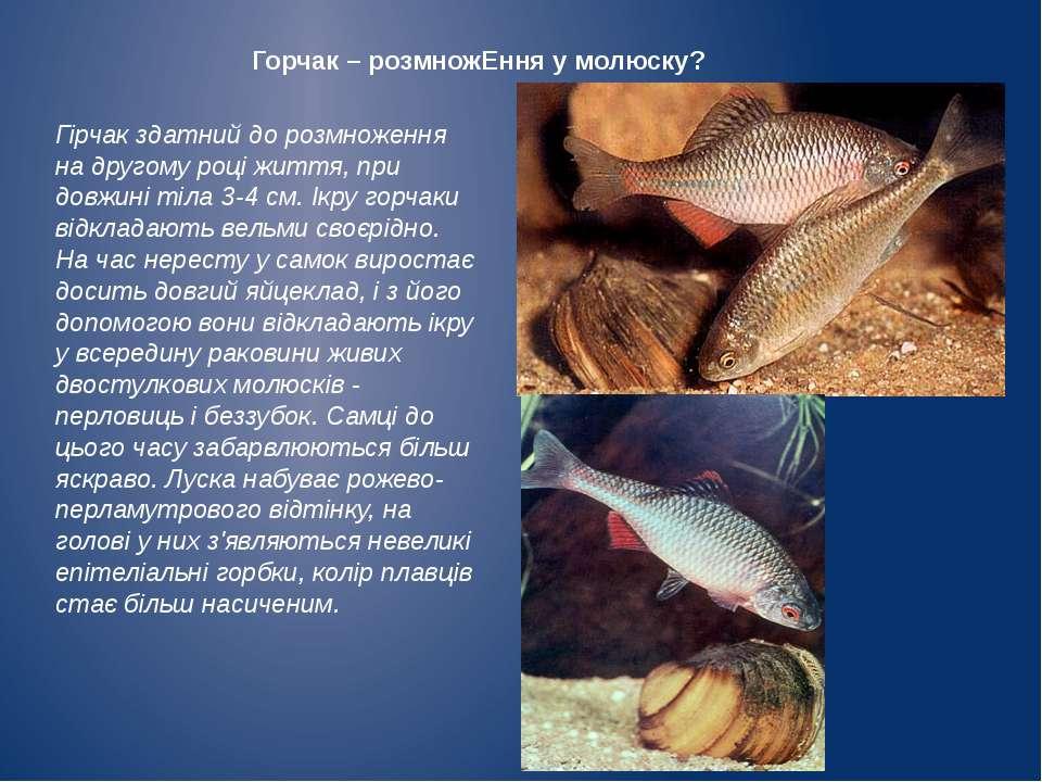Горчак – розмножЕння у молюску? Гірчак здатний до розмноження на другому році...