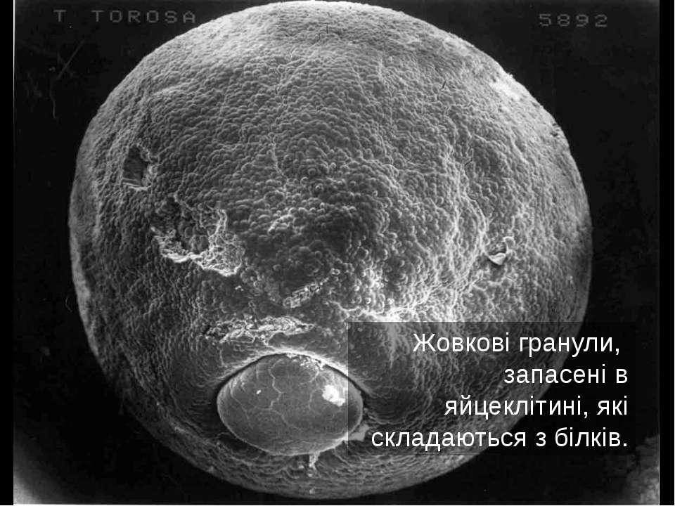 Жовкові гранули, запасені в яйцеклітині, які складаються з білків.