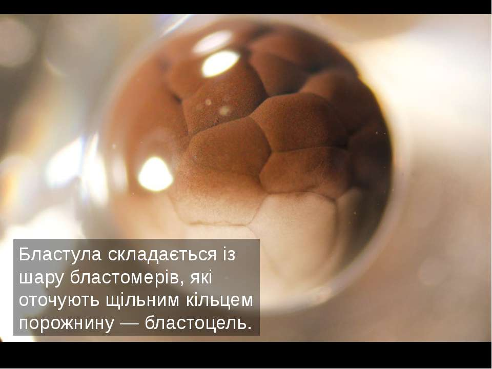 Бластула складається із шару бластомерів, які оточують щільним кільцем порожн...
