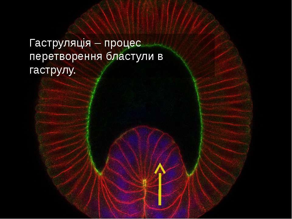 Гаструляція – процес перетворення бластули в гаструлу.