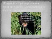 Живуть пантери переважно в тропічних лісах. Але надзвичайно багато їх на остр...