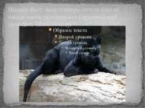 Цікавий факт: якщо пантера сита то вона не нападе навіть на маленького баранч...