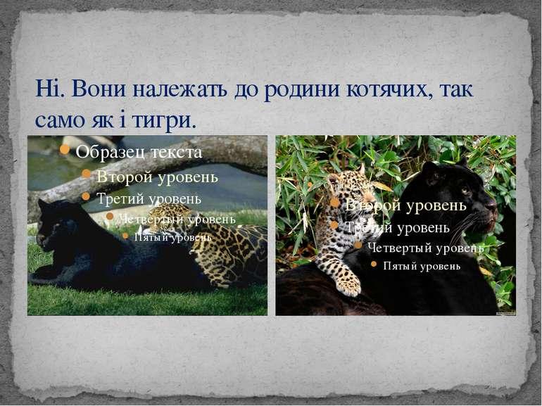 Ні. Вони належать до родини котячих, так само як і тигри.