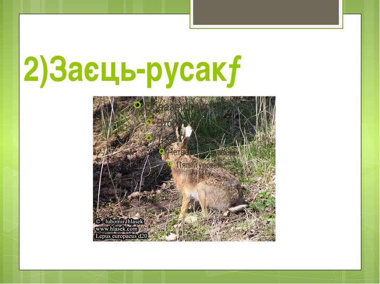 2)Заєць-русак→