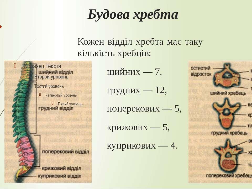 Будова хребта Кожен відділ хребта має таку кількість хребців: шийних— 7, гру...