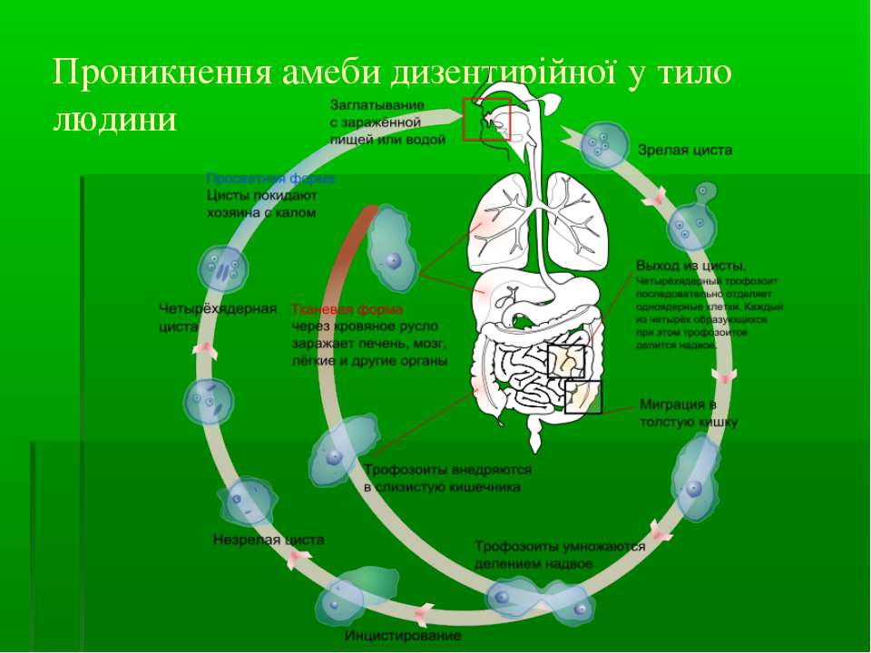Проникнення амеби дизентирійної у тило людини