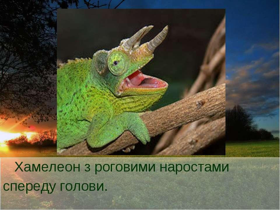 Хамелеон з роговими наростами спереду голови.