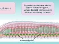 метанефріїид Видільна Видільна система має вигляд довгих звивистих трубок - м...