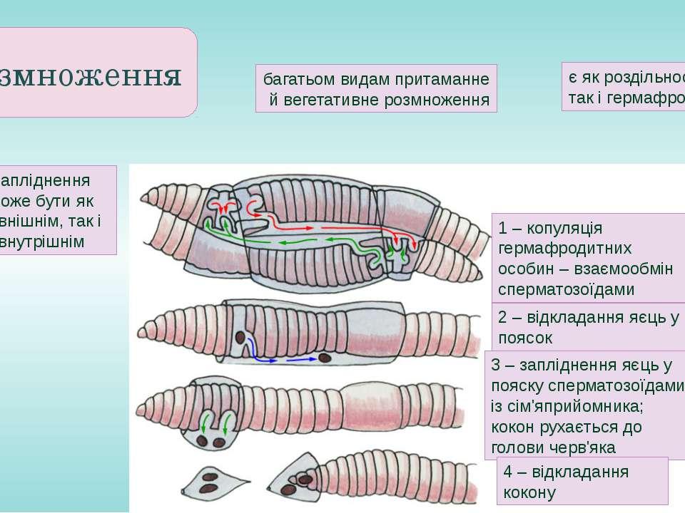 Розмноження 1 – копуляція гермафродитних особин – взаємообмін сперматозоїдами...