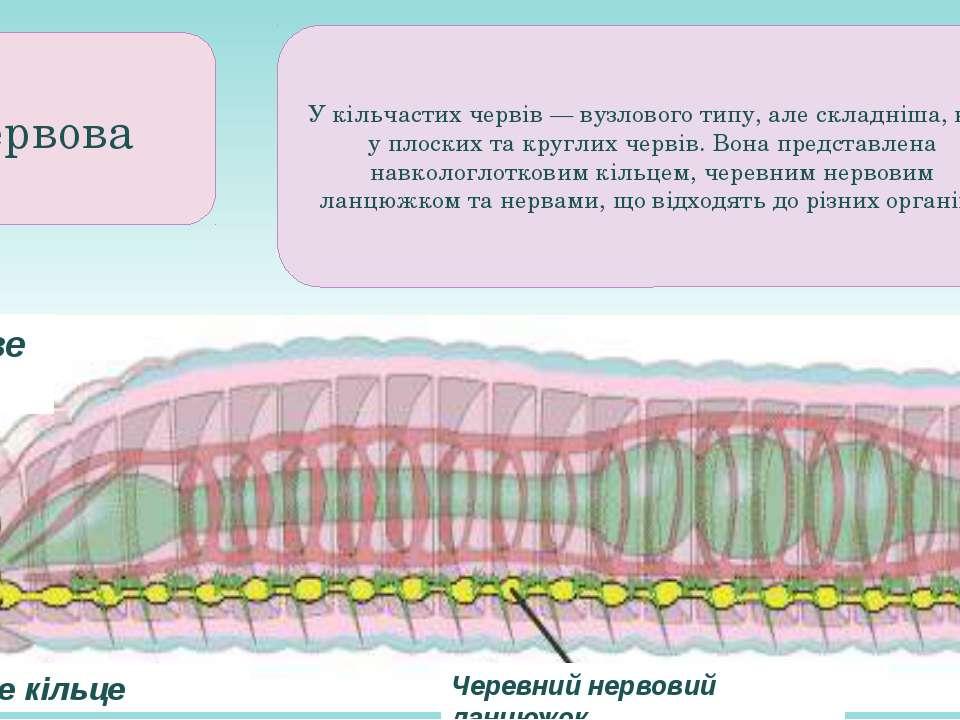 Нервове кільце Нервове кільце Черевний нервовий ланцюжок Нервова У кільчастих...