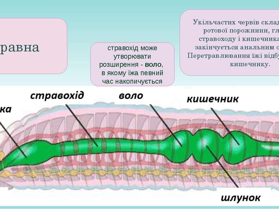 Травна стравохід може утворювати розширення - воло, в якому їжа певний час на...