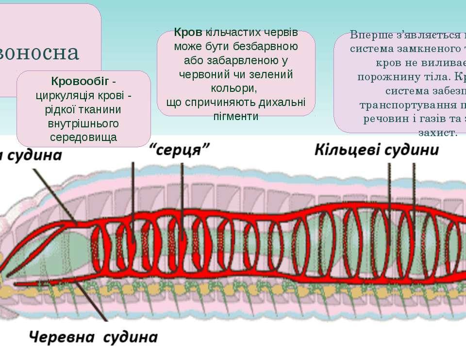 Кровоносна Вперше з'являється кровоносна система замкненого типу, тобто кров ...