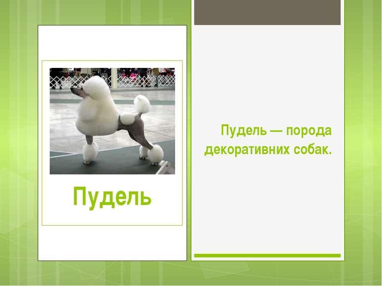 Пудель — порода декоративних собак.
