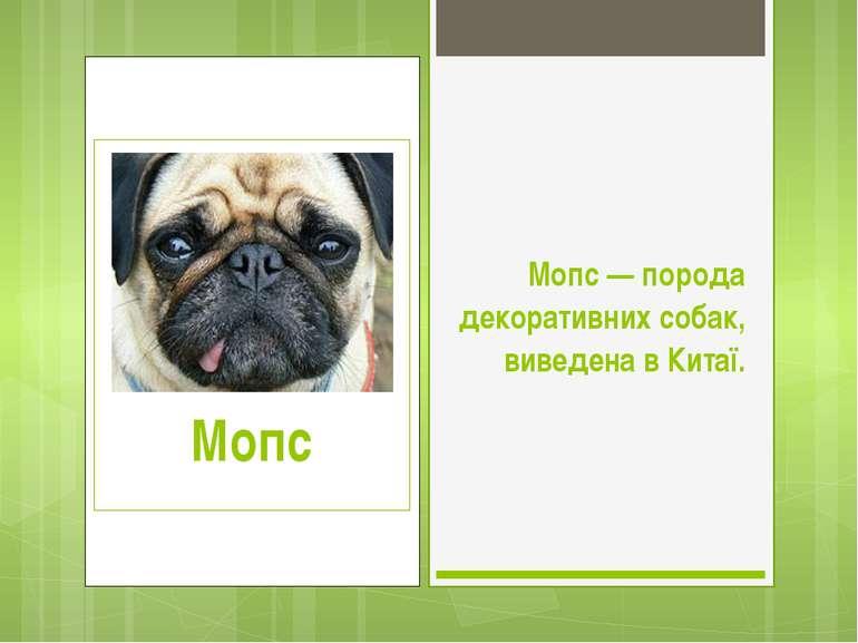 Мопс — порода декоративних собак, виведена в Китаї.