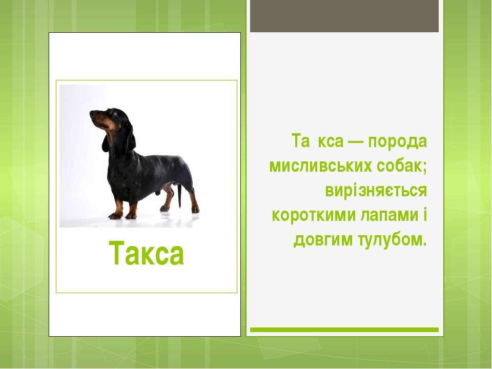 Та кса — порода мисливських собак; вирізняється короткими лапами і довгим тул...