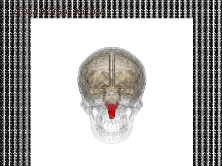 Довгастий мозок