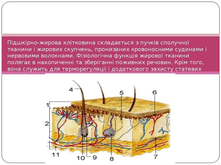 Підшкірно-жирова клітковина складається з пучків сполучної тканини і жирових ...