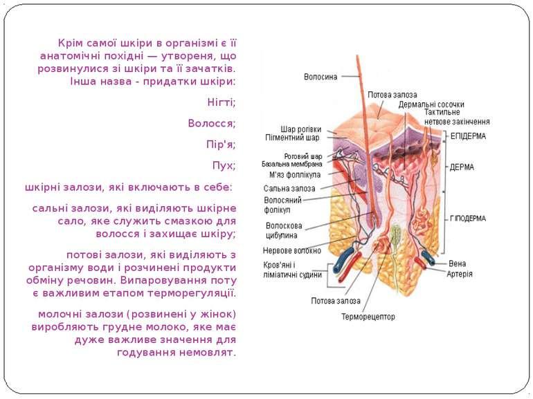 Крім самої шкіри в організмі є її анатомічні похідні — утвореня, що розвинули...