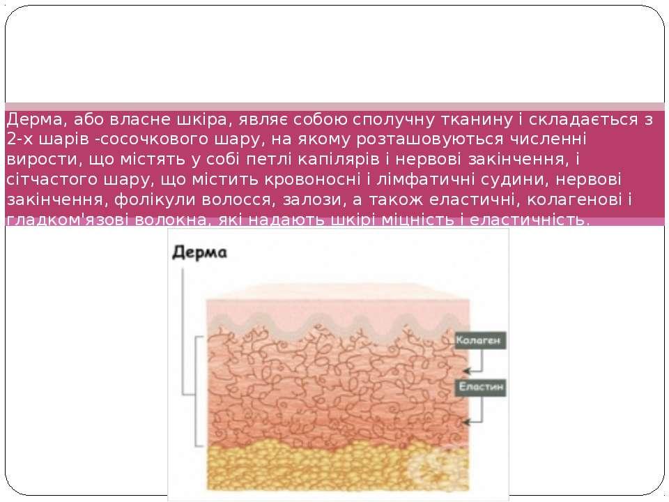 Дерма, або власне шкіра, являє собою сполучну тканину і складається з 2-х шар...