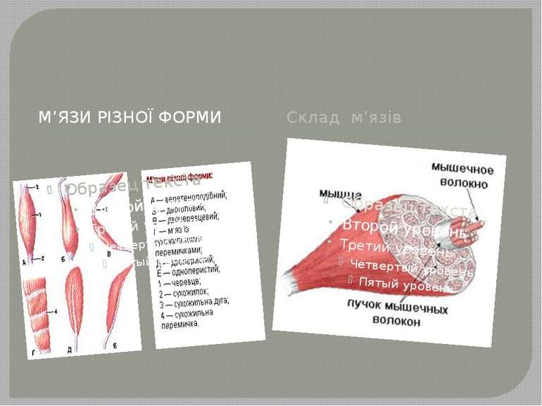 М'ЯЗИ РІЗНОЇ ФОРМИ Склад м'язів