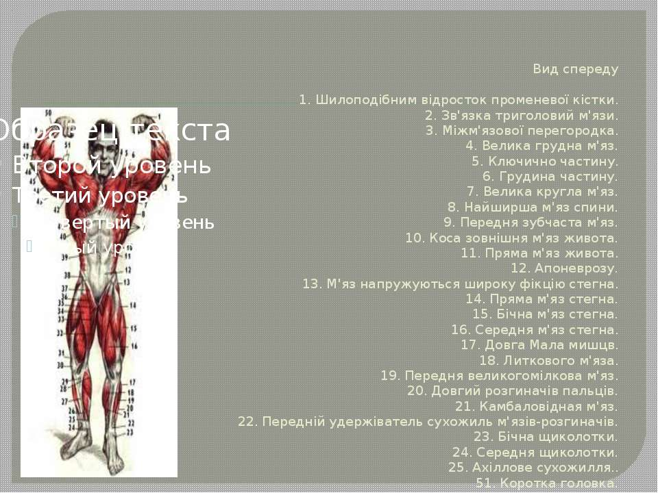 Вид спереду 1. Шилоподібним відросток променевої кістки. 2. Зв'язка триголови...