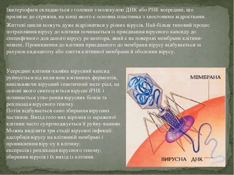 Бактеріофаги складаються з головки з молекулою ДНК або РНК всередині, що прил...