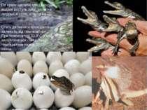По краях щелепи плащеносних ящірок ростуть зуби, схожі на людські корінні, ік...