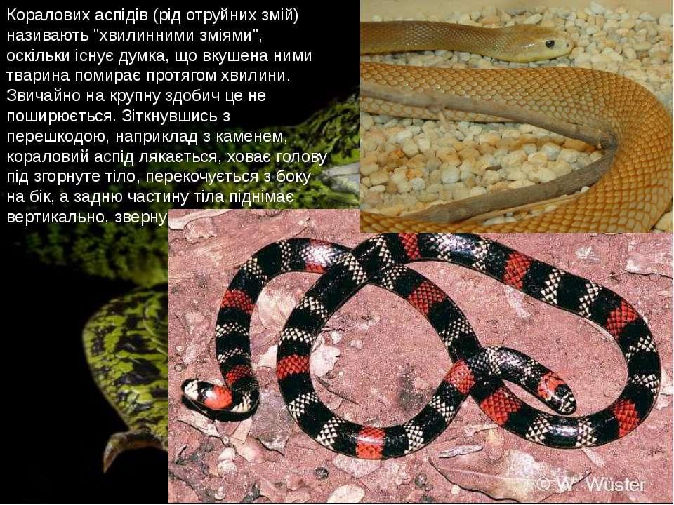 """Коралових аспідів (рід отруйних змій) називають """"хвилинними зміями"""", оскільки..."""