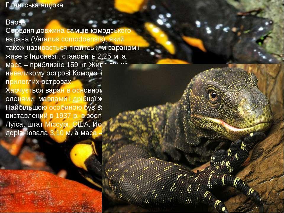 Гігантська ящірка Варан Середня довжина самців комодського варана (Varanus co...