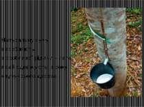 Натуральну гуму виробляють з особливої рідини – латексу, який одержують із со...
