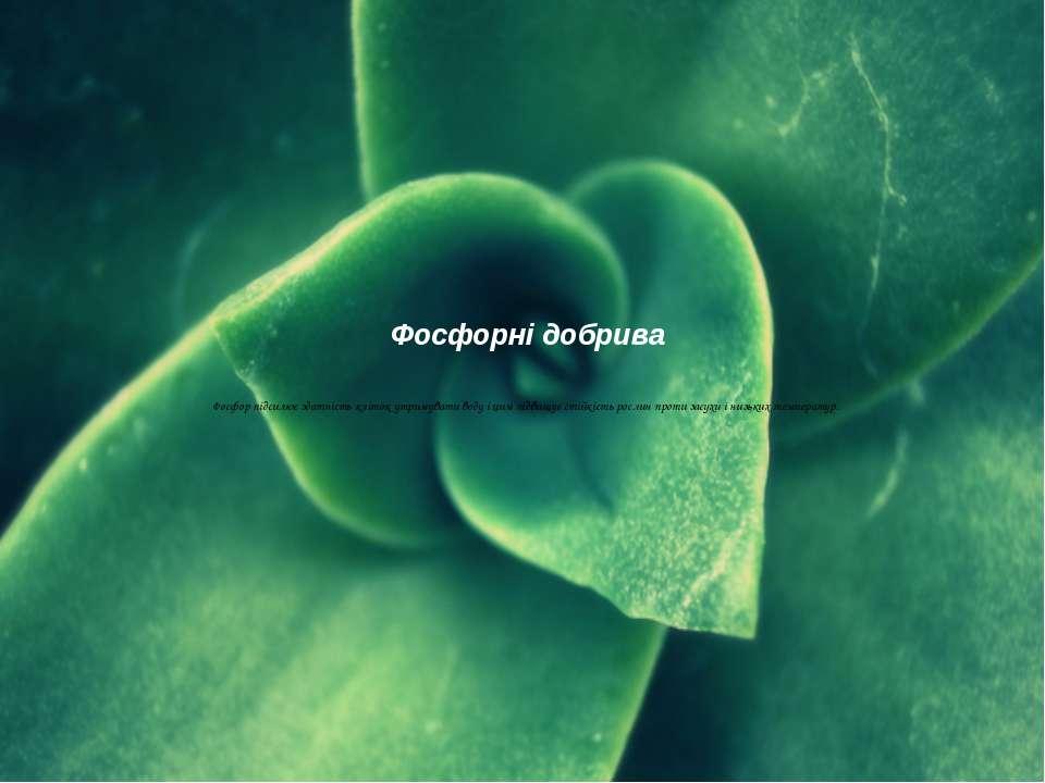 Фосфорні добрива  Фосфор підсилює здатність кліток утримувати воду і цим під...