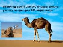 Верблюд вагою 250-300 кг може випити у спеку за один раз 100 літрів води.