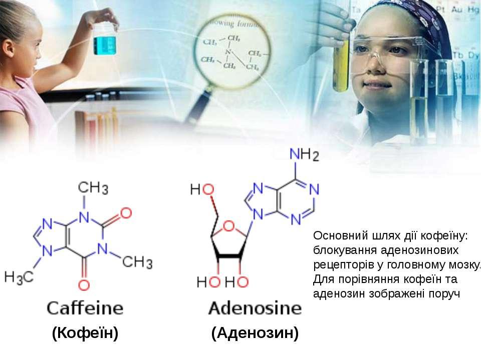 Основний шлях дії кофеїну: блокування аденозинових рецепторів у головному моз...