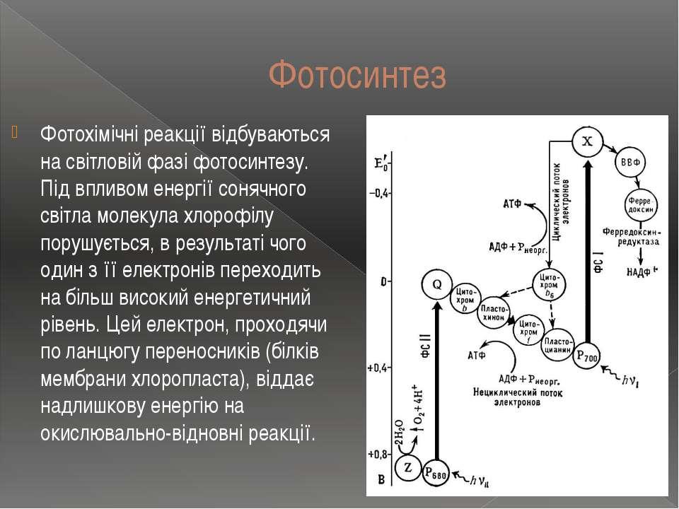 Фотосинтез Фотохімічні реакції відбуваються на світловій фазі фотосинтезу. Пі...