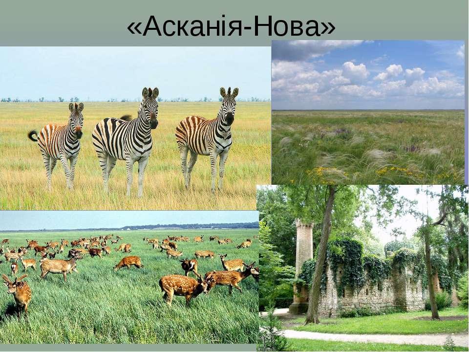 «Асканія-Нова»