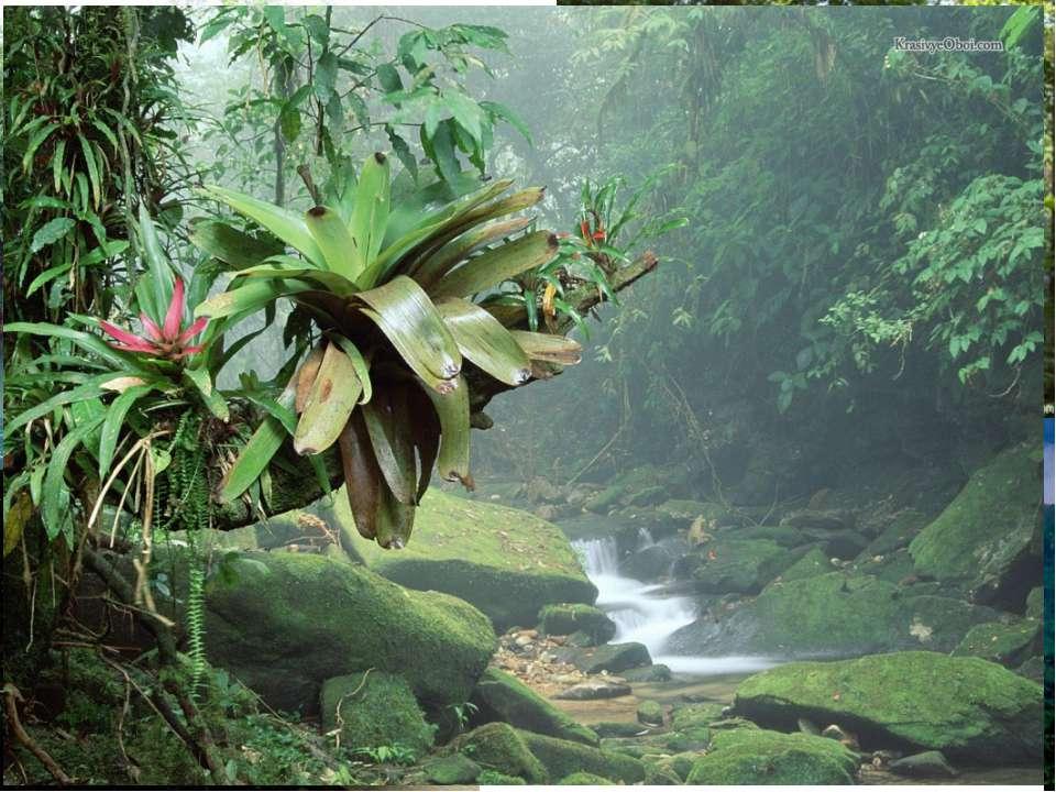 Південний лісовий пояс Південно-Східна Азія Малайзія Філіппіни Тропічна Африк...