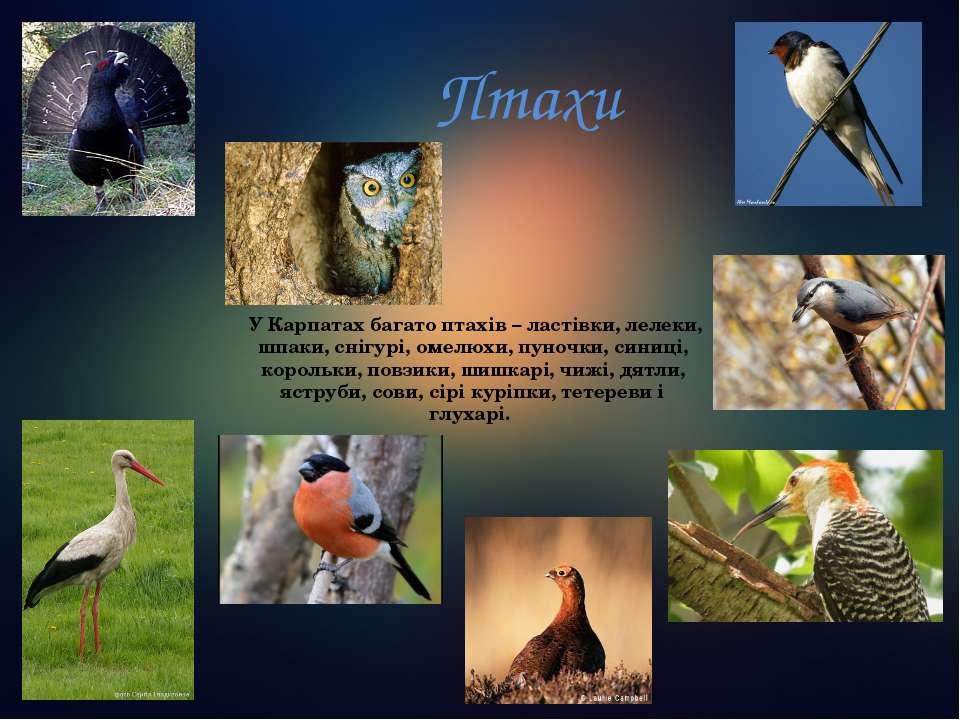 Птахи У Карпатах багато птахів – ластівки, лелеки, шпаки, снігурі, омелюхи, ...