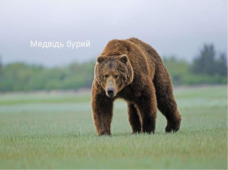 Медвідь бурий