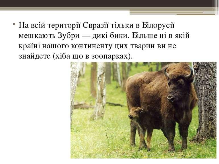 На всій території Євразії тільки в Білорусії мешкають Зубри — дикі бики. Біль...
