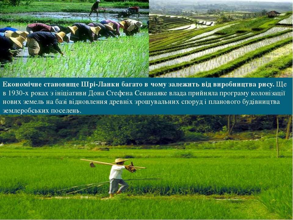Економічне становище Шрі-Ланки багато в чому залежить відвиробництва рису.Щ...