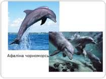 Афаліна чорноморська