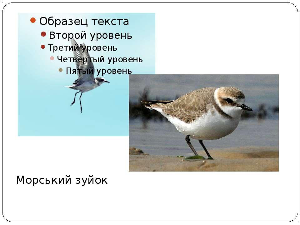 Морський зуйок