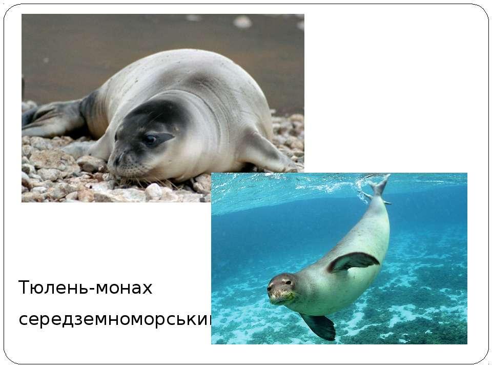 Тюлень-монах середземноморський