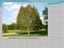 Betula papyrifera – біла або паперова береза.